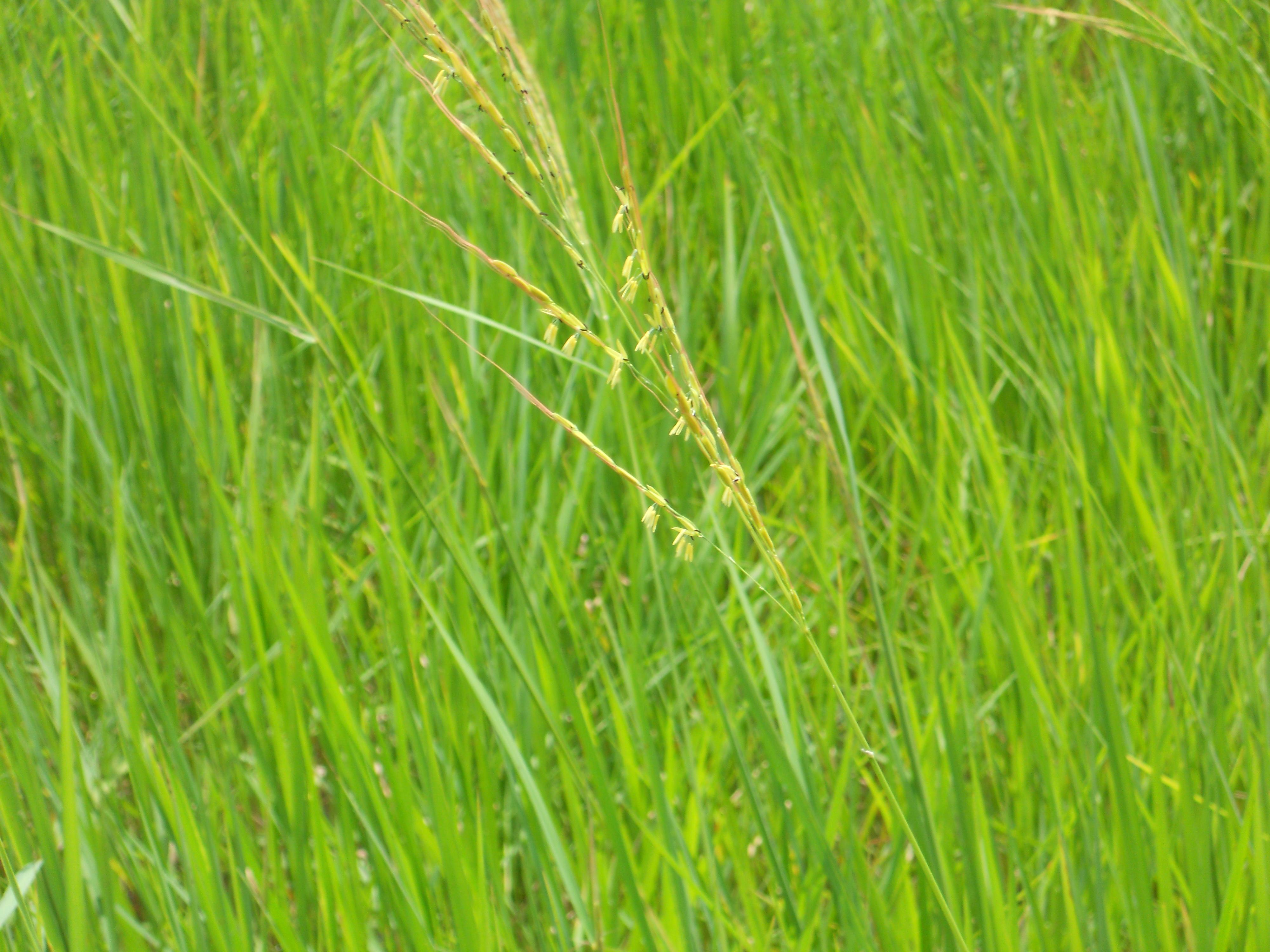 湿地で出穂、開花中の個体