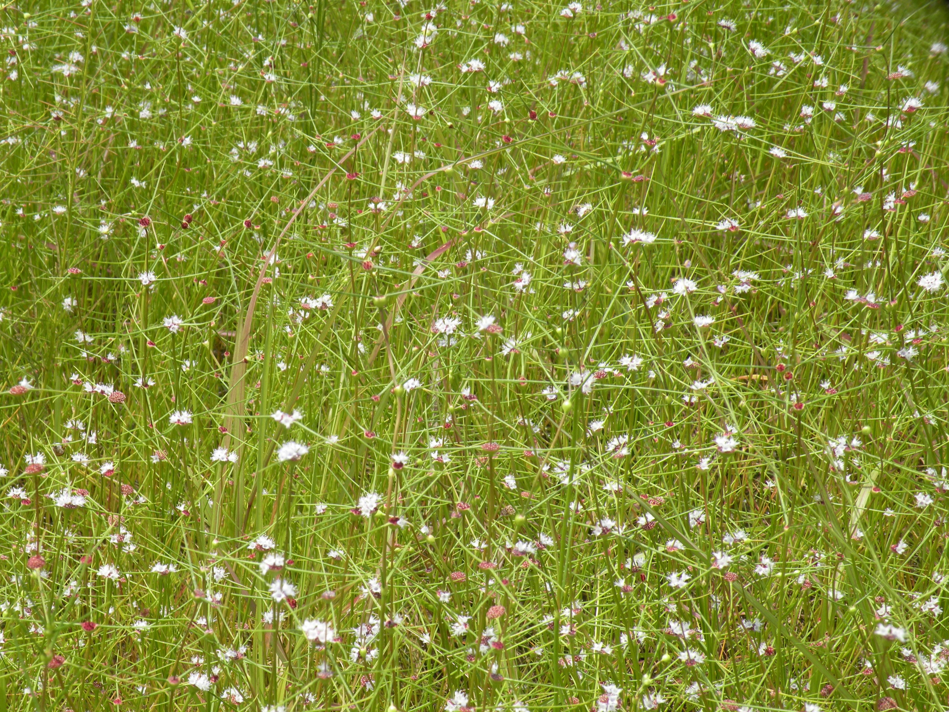Population flowering in swamp