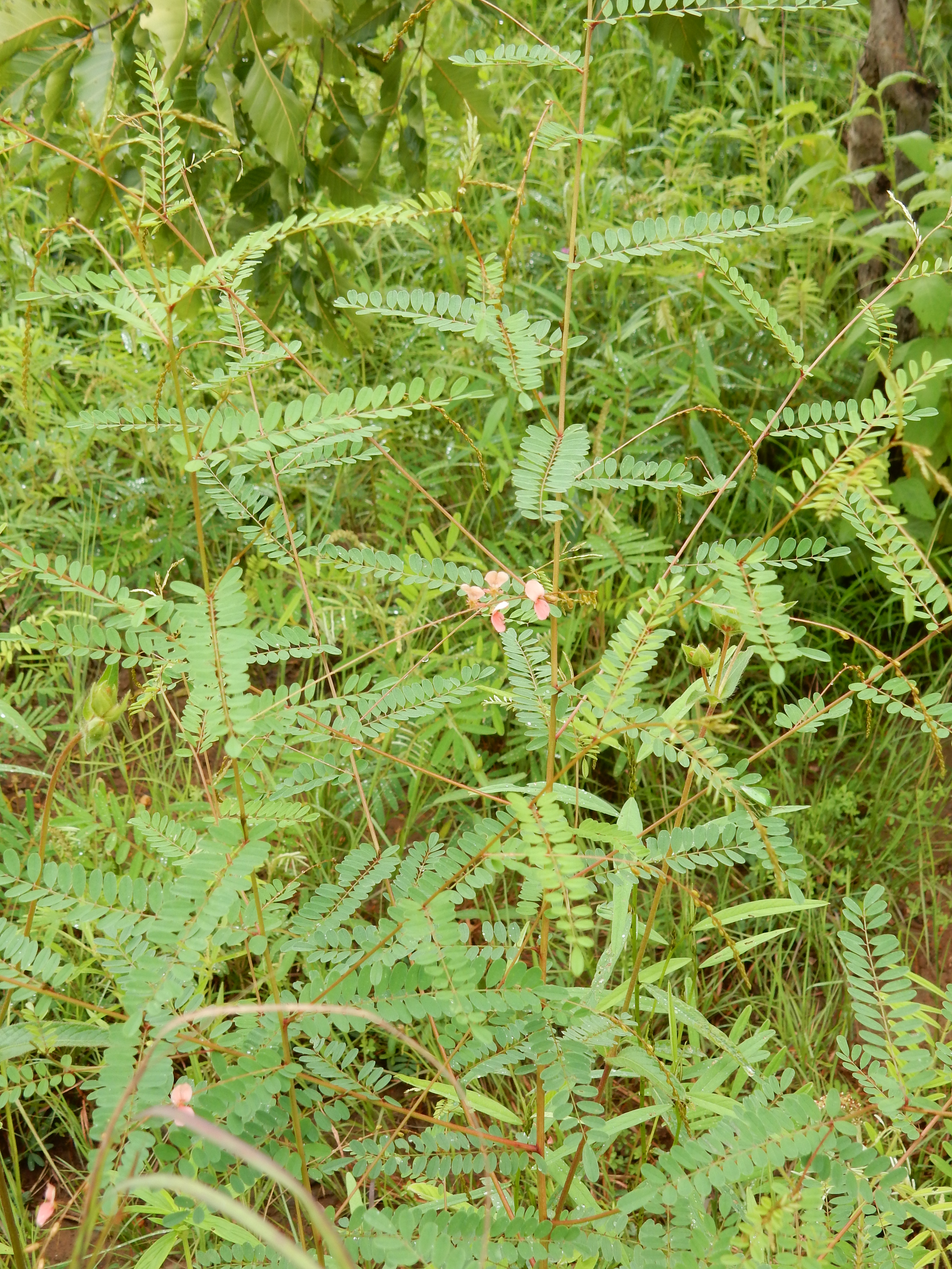 サバンナ植生中で開花期の植物体