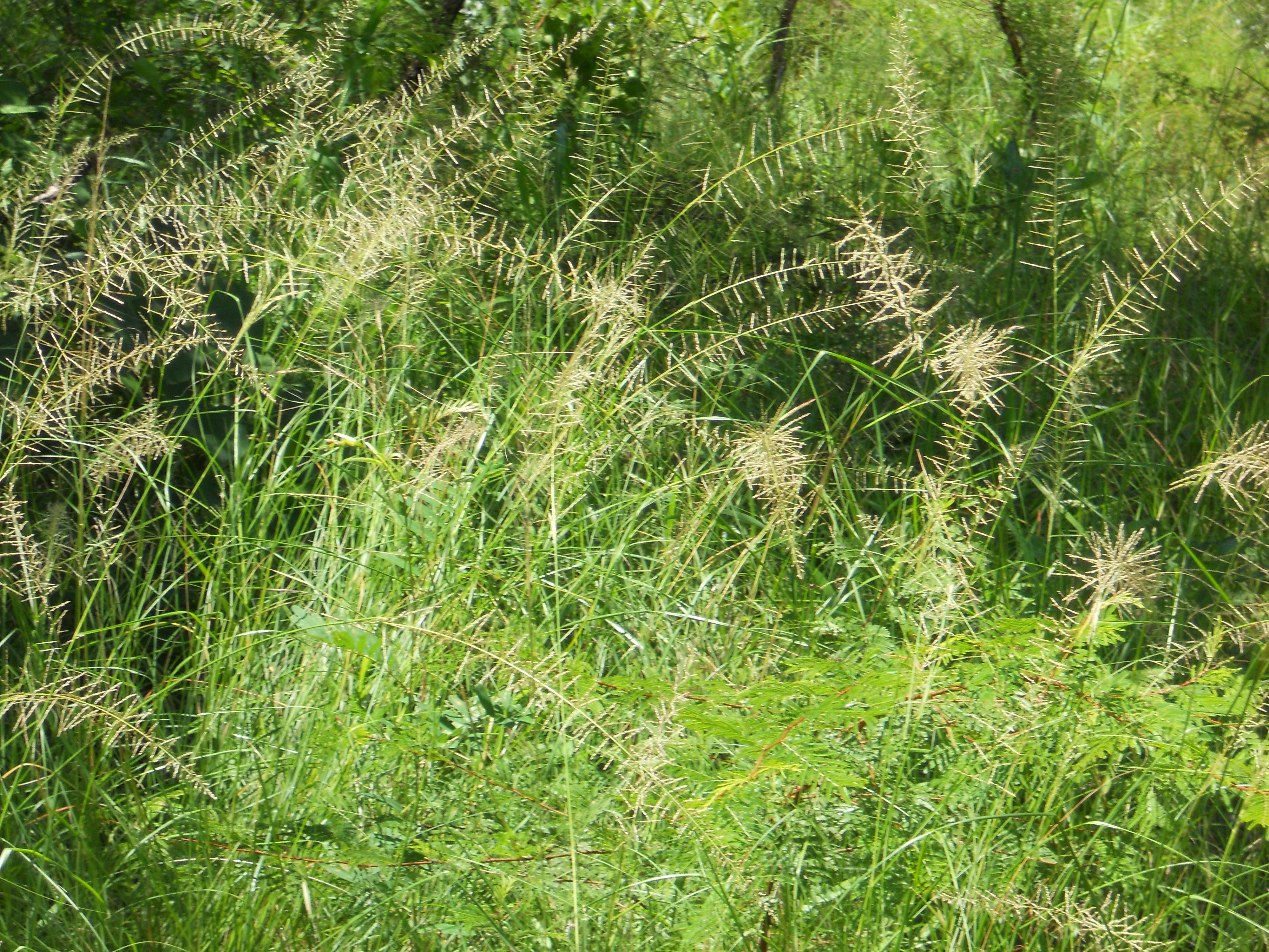 サバンナ植生の中での出穂、開花状態