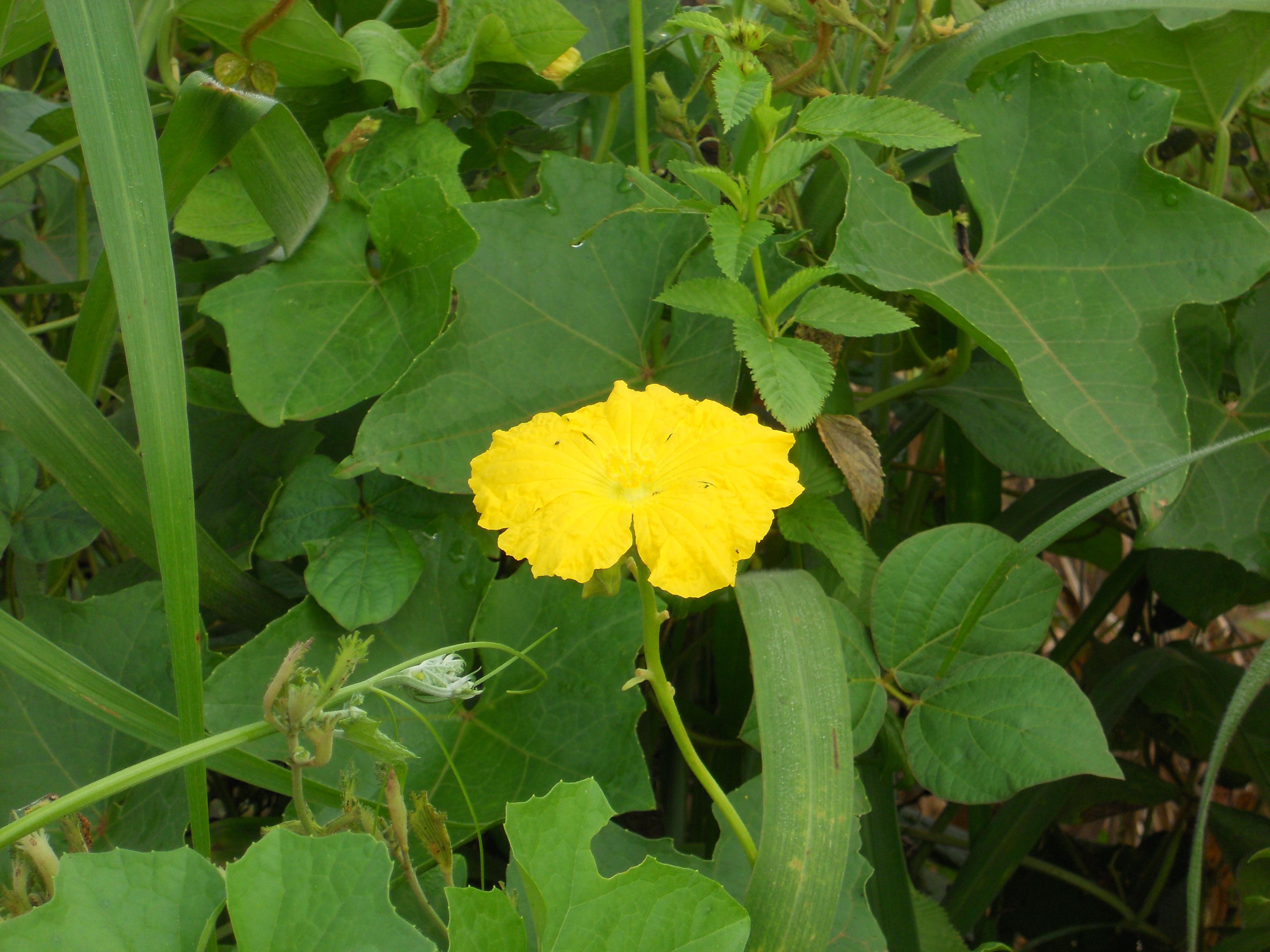 雄花をつけた植物体