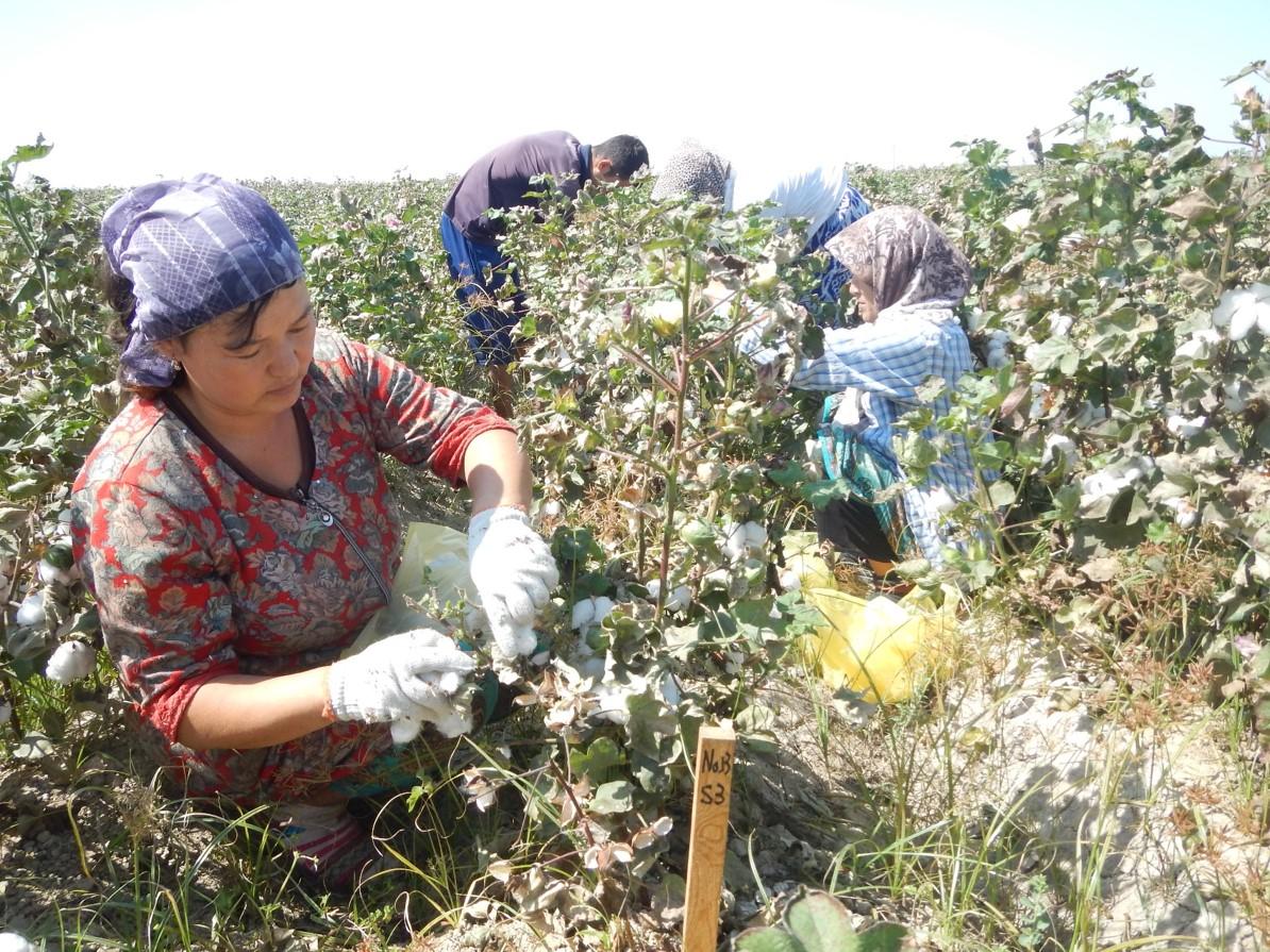 綿花の摘み取り