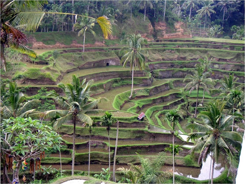 インドネシアの棚田