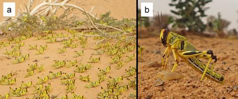 図1.サバクトビバッタ(以下の図中、バッタ)の群生相幼虫