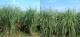 Erianthus variety